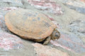 Sunbathing land turtle Royalty Free Stock Photography