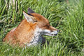 Sunbathing red fox Vulpes vulpes