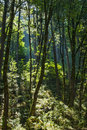 Sunbeam in Forest Stock Images