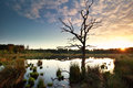 Sunbeams behind dry tree on swamp Royalty Free Stock Photo