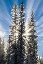 Sunbeams behind snow covered trees.