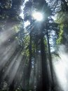 Sunbeams through coast redwods sun shining redwoods and fog on the pacific highway in california Royalty Free Stock Images