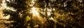 Sunbeams between dark firs, panorama