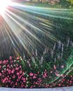 Sunbeams extend over flower garden in Chicago during springtime watering. Royalty Free Stock Photo