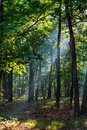 Sunbeams falling on the path in autumn forest on a foggy morning. Royalty Free Stock Photo