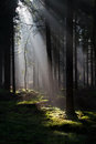 Sunbeams in a forest dark pine form light spots on moss Stock Photo