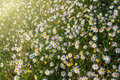 Sunbeams on the forest glade of daisies. Royalty Free Stock Image
