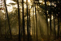 Sunbeams penetrating a forest in morning light Royalty Free Stock Photo
