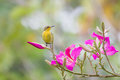 Sunbird on flower Royalty Free Stock Photo