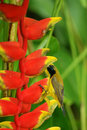 Sunbird in heliconia flower Royalty Free Stock Photo