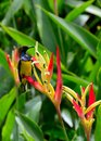 Sunbird on heliconia flowers a a species of the sunbirds make up part of a family nectariniidae of very small passerine birds most Royalty Free Stock Photo