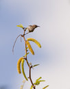 Sunbird perched on branch Royalty Free Stock Photography
