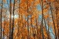 Sunburst Through Autumn Trees Royalty Free Stock Photo