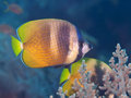 Sunburst butterflyfish Royalty Free Stock Photo