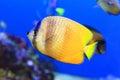 Sunburst butterflyfish chaetodon kleinii in japan Royalty Free Stock Photography