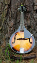 Sunburst mandolin a with style finish resting at the base of a large pine tree Stock Images