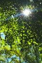 Sunburst Peeking Through the Trees Royalty Free Stock Photo