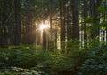 Sunburst through Trees. Royalty Free Stock Photo