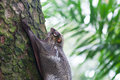 Sunda flying lemur a galeopterus variegatus clings to a tree in the rainforests of southeast asia Royalty Free Stock Photography