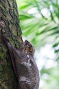Sunda flying lemur a galeopterus variegatus clings to a tree in the rainforests of southeast asia Royalty Free Stock Images