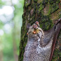 Sunda flying lemur a galeopterus variegatus clings to a tree in the rainforests of southeast asia Stock Photos