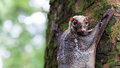 Sunda flying lemur a galeopterus variegatus clings to a tree in the rainforests of southeast asia Royalty Free Stock Photo