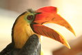 Sunda wrinkled hornbill Stock Photography