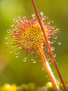 Sundew Royalty Free Stock Image