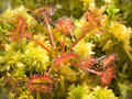 Sundew Stock Photography