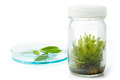 Sundew carnivorous plant plant tissue culture in the laborator laboratory on white Royalty Free Stock Image