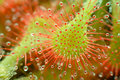 Sundew - Drosera capillaris Royalty Free Stock Photos