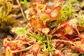 Sundew plant Royalty Free Stock Photos