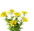 Sundrops flowers Stock Images