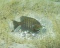 Sunfish bream guarding nest this is on the bed against predators that want to steal the eggs Royalty Free Stock Image