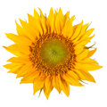 The sunflower Stock Photo