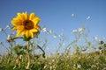 Sunflower Royalty Free Stock Photo
