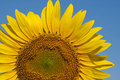 Sunflower against blue cloudy sky Royalty Free Stock Photo
