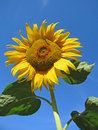 Sunflower against the blue sky Royalty Free Stock Image