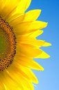Sunflower  against the blue sky. Stock Photo
