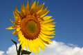 Sunflower against the blue sky Royalty Free Stock Photo