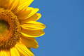 Sunflower against a blue sky Royalty Free Stock Photo