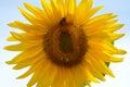 Sunflower against blue sky Royalty Free Stock Photo