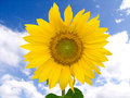 Sunflower against cloudy sky single Royalty Free Stock Photography