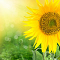 Sunflower background Royalty Free Stock Photo