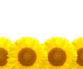 The sunflower background Stock Photos
