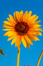 Sunflower on a background of blue sky Royalty Free Stock Photo