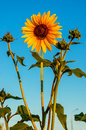 Sunflower on a background of blue sky Royalty Free Stock Photos