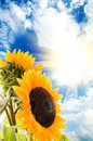 Sunflower on a background of the blue sky and sun Stock Photos