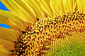 Sunflower background close up of a beautiful Stock Photo