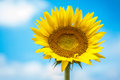 Sunflower on background of clouds and blue sky Royalty Free Stock Photo